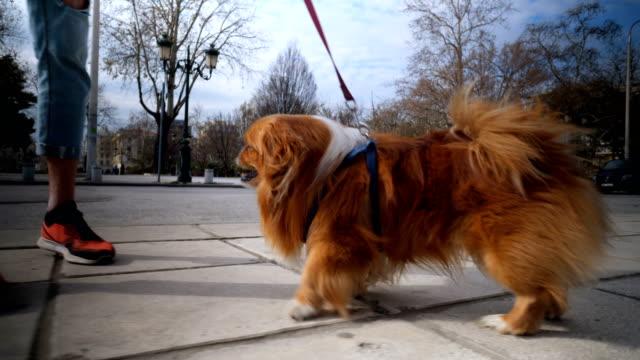 vídeos de stock e filmes b-roll de pekingese dog walking on a pet leash - trela de animal de estimação