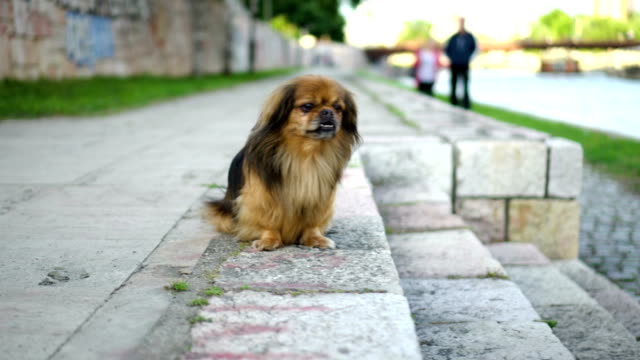 Pekingese in a walk