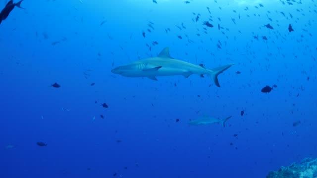 pelagic blacktip shark - blacktip shark stock videos & royalty-free footage