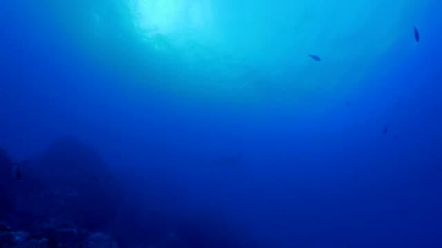 pelagic shark swimming in deep blue sea - galapagos shark stock videos & royalty-free footage