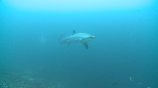 pelagic thresher shark (alopias pelagicus) swimming through cleaning station, monad shoa, malapascua, the philippines - tail fluke stock videos & royalty-free footage