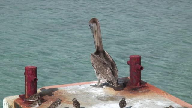 pelican 8 - hd 1080/60i - sandpiper stock videos & royalty-free footage