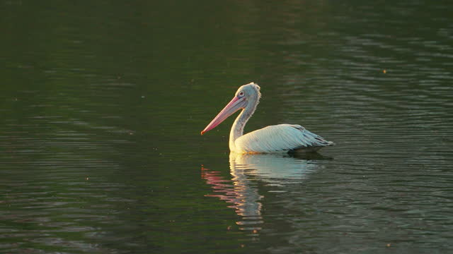 a pelican bird floating in a lake in slow motion - pelican stock videos & royalty-free footage