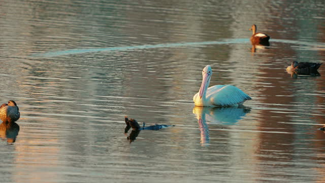 a pelican bird floating in a lake in slow motion - image stock videos & royalty-free footage