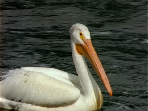 a pelican bobs over the waves in a body of water. - 動物の口点の映像素材/bロール