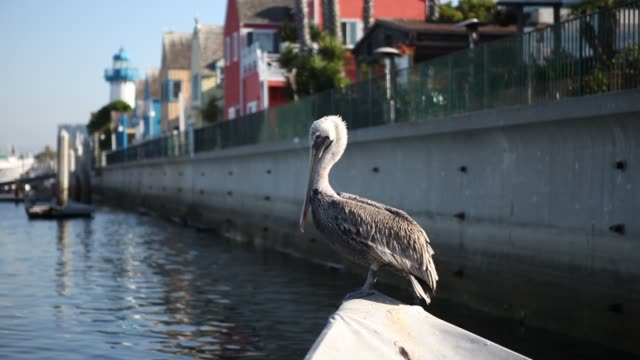 pelican can be seen near venice beach in los angeles, california, usa - pelikan bildbanksvideor och videomaterial från bakom kulisserna