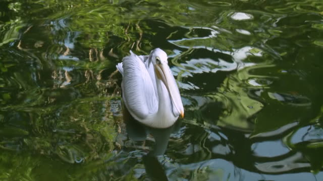 pelican catching tossed fish - rückenflosse stock-videos und b-roll-filmmaterial