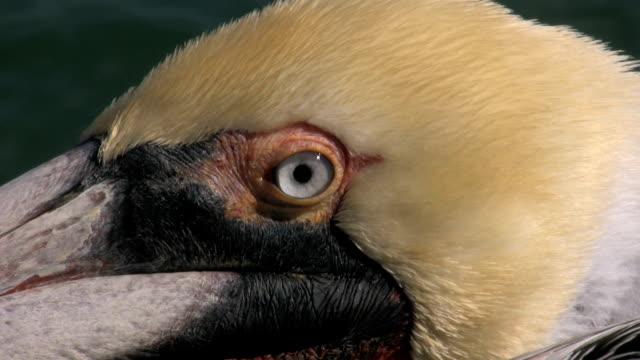 pelican close-up - pelican stock videos & royalty-free footage
