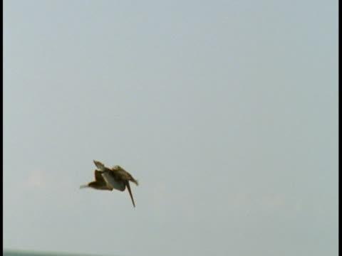 A pelican dives into the ocean.