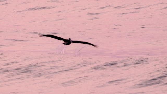vídeos de stock e filmes b-roll de pelicano mergulho no oceano perseguir um peixe no início da manhã - water's edge