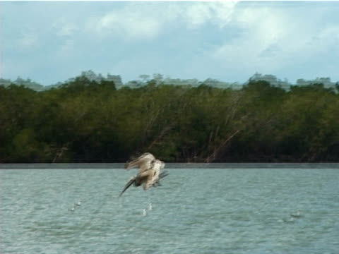 ms pelican diving into water hunting. everglades, florida, usa - piccolo gruppo di animali video stock e b–roll