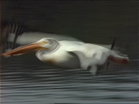 a pelican flaps its wings as it soars. - 動物の口点の映像素材/bロール