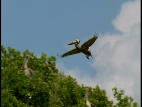a pelican flies above leafy treetops. - mangrove forest stock videos & royalty-free footage