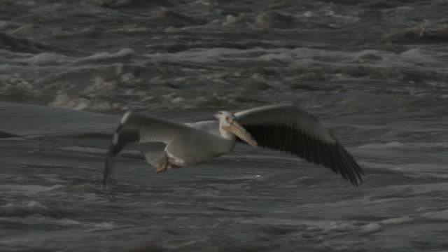 a pelican flies low over a turbulent river and splashes down. - pelican stock videos & royalty-free footage