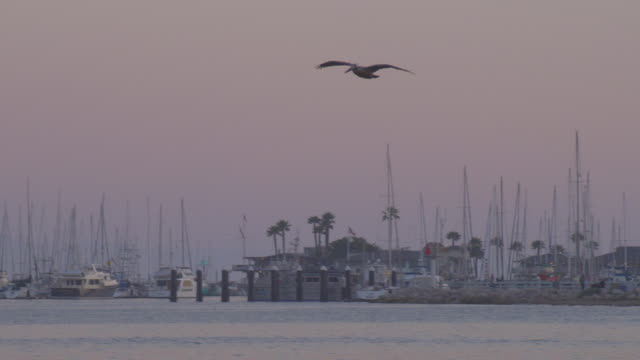 vídeos de stock e filmes b-roll de a pelican flies over and dives into the pacific ocean for fish near a marina at twilight. - pelicano