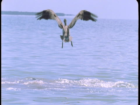 vídeos de stock e filmes b-roll de a pelican flies over churning water where dolphins feed. - pelicano