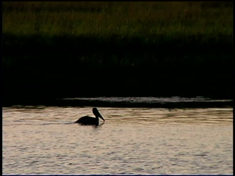 pelican floating in water, bald head island, north carolina - bald head island stock videos & royalty-free footage