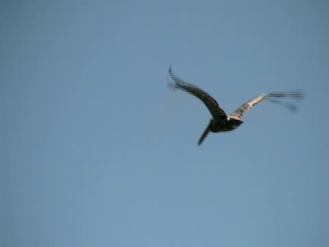 pelican fly-by - pelican stock videos & royalty-free footage