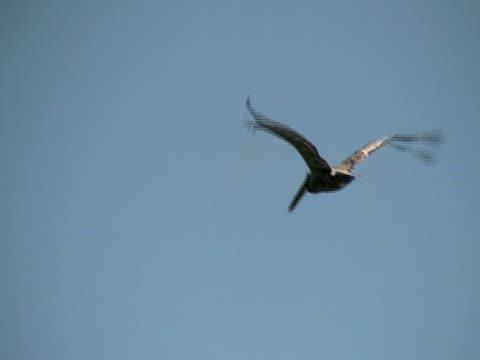 vídeos de stock, filmes e b-roll de pelicano fly-por - pelicano