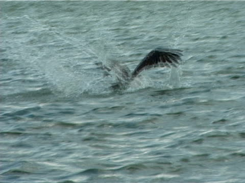 MS Pelican flying and diving into water (2000). Everglades, Florida, USA