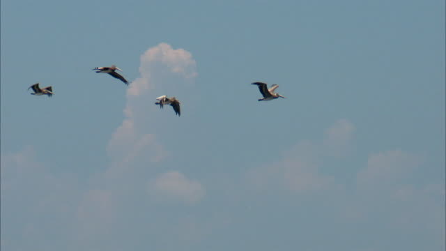 ws ts pelican flying in sky / louisiana, usa - small group of animals stock videos & royalty-free footage