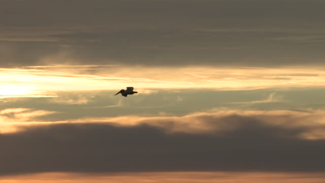 vídeos de stock e filmes b-roll de ms ts pelican flying into stunning sunset / malibu, california, united states - pelicano