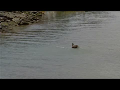 vídeos y material grabado en eventos de stock de pelican flying low over water in harbor / landing in water / taking off / puerto ayora, santa cruz island, galapagos islands - formato buzón