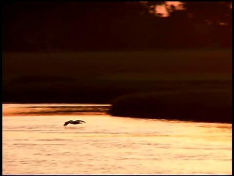 pelican flying over water, bald head island, north carolina - bald head island stock videos and b-roll footage