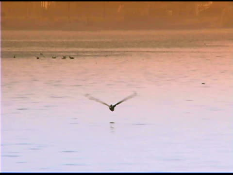 vidéos et rushes de pelican flying over water, los angeles, california - organisme aquatique