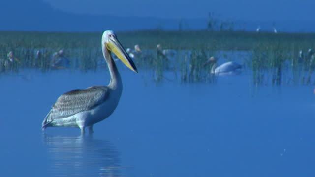 MS, Pelican (Pelecanus onocrotalus) in Lake Nakuru, Lake Nakuru National Park, Rift Valley, Kenya