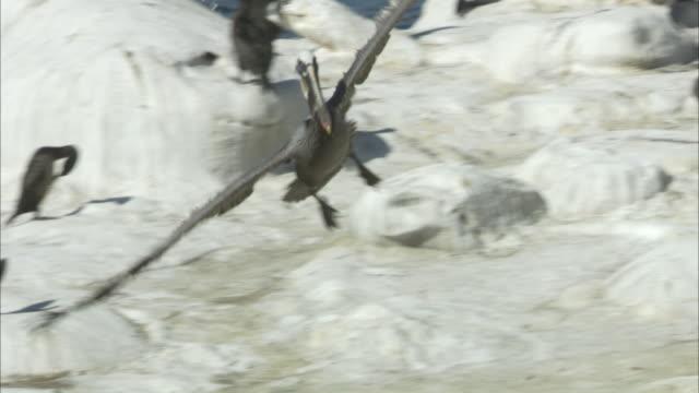 a pelican lands on a bleached, rocky beach, populated by other seabirds. - gliedmaßen körperteile stock-videos und b-roll-filmmaterial