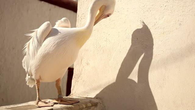 stockvideo's en b-roll-footage met pelican life - pelikaan
