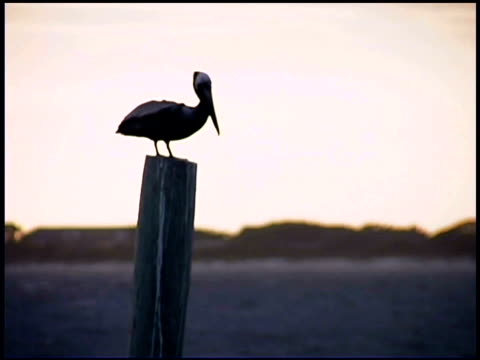 pelican on post, bald head island, north carolina - bald head island stock videos and b-roll footage