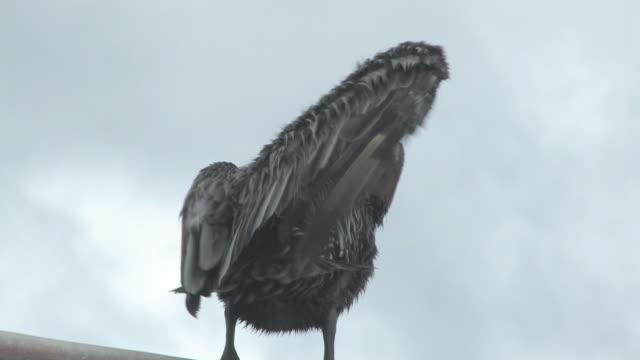 pelican auf der draht 11 hd-bis 30 - maul stock-videos und b-roll-filmmaterial