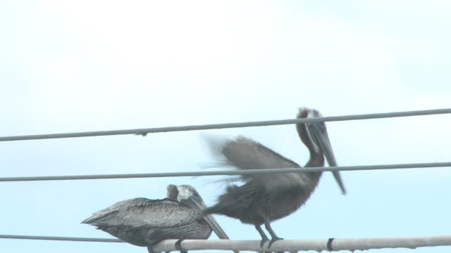 pelican on the wire 12 - hd 30f - two animals stock videos & royalty-free footage