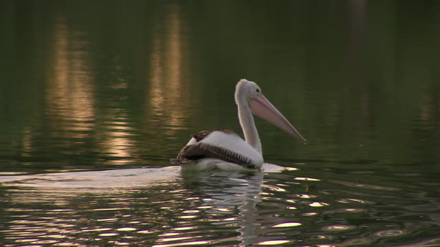 ms pelican on water / wentworth, new south wales, australia - pelican stock videos & royalty-free footage