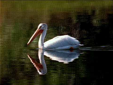 a pelican paddles across a placid lake. - invertebrate stock videos & royalty-free footage