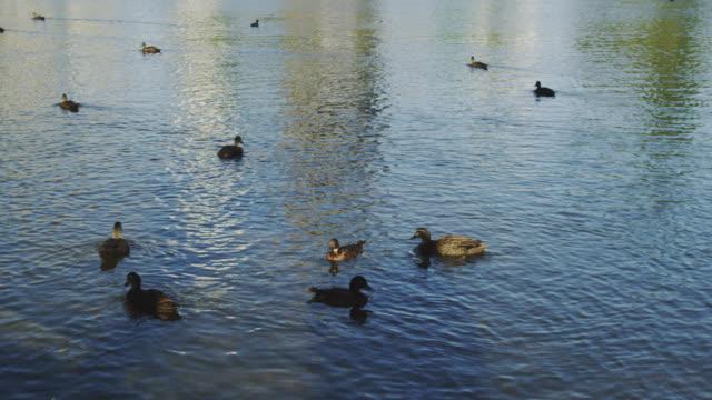 cu tu pelican preening in water / perth, western australia, australia - pelikan stock-videos und b-roll-filmmaterial