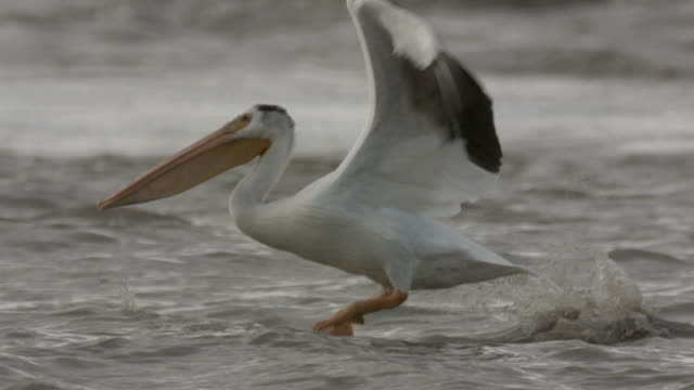 a pelican rises from a river using its impressive wings. - gliedmaßen körperteile stock-videos und b-roll-filmmaterial