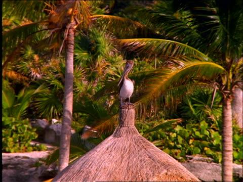pelican sitting on top of grass umbrella on beach / cancun - aquatic organism stock videos & royalty-free footage