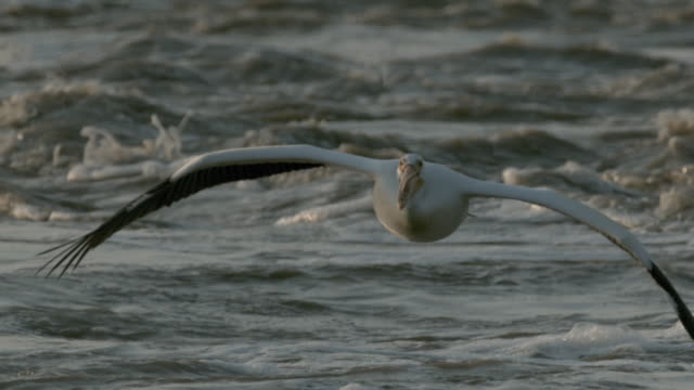 a pelican slowly flaps its wings as it flies over turbulent freshwater. - pelican stock videos & royalty-free footage