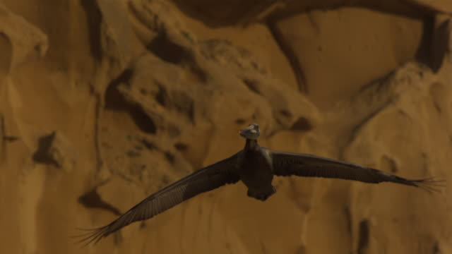 a pelican soars past a rugged cliff. - pelican stock videos & royalty-free footage