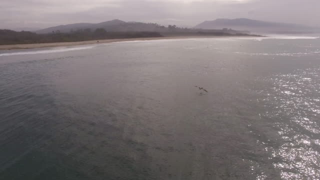 pelican surfer chase, 4k drone tracking aerial view wildlife herd hunting, deer, elk, bison, hawk, buck, cows, bird, buffalo, directors choice, editors choice, magic hour, sun flare, grassland, epic - bird hunting stock videos & royalty-free footage