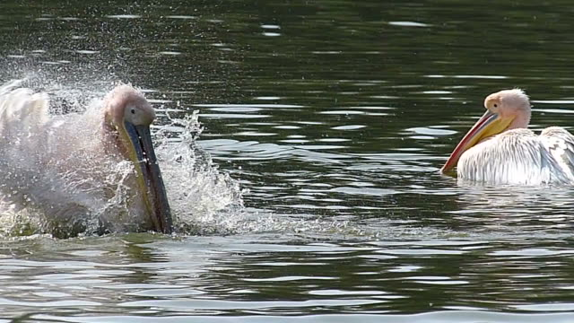 pelican swimming - pelican stock videos & royalty-free footage