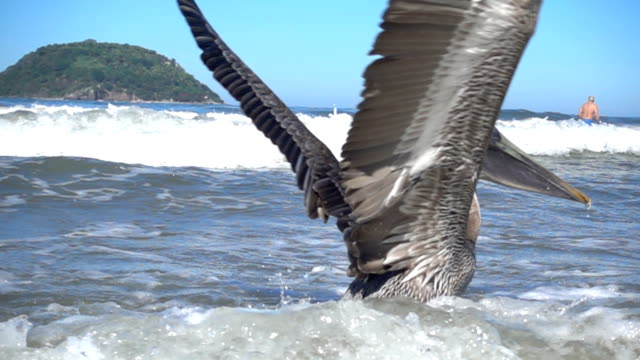 pelican takes off from shallow water - pelican stock videos & royalty-free footage
