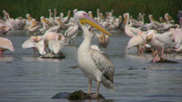 pelican - pelican stock videos & royalty-free footage