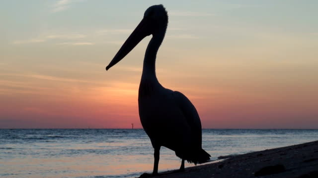 vídeos de stock, filmes e b-roll de pelicano - pelicano