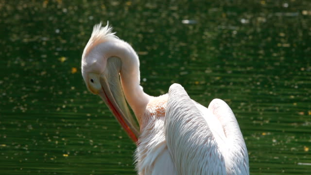 pelican - preening animal behavior stock videos & royalty-free footage