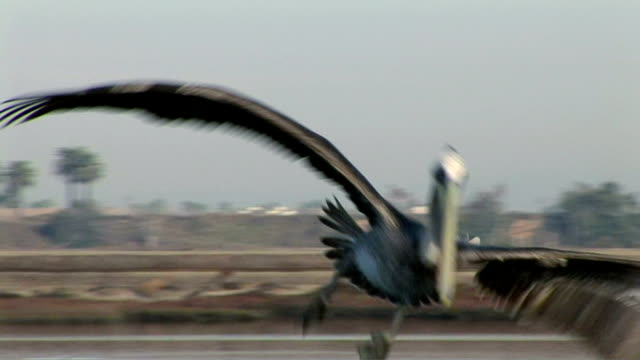 pelican - pelikan stock-videos und b-roll-filmmaterial
