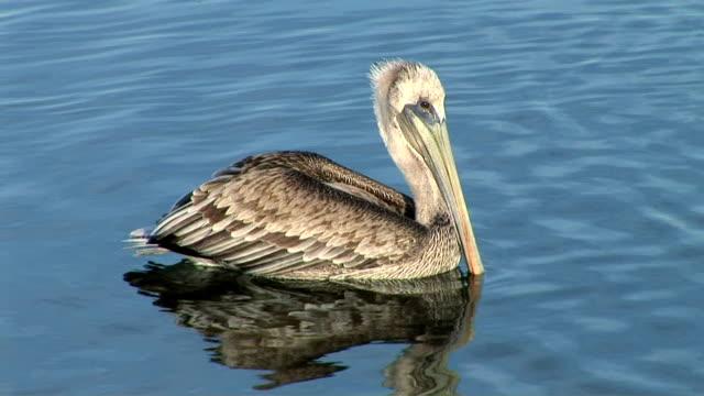 vídeos de stock e filmes b-roll de pelican - boca de animal